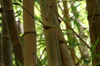 bamboo-780862