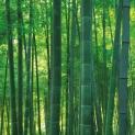 bosque-de-bambú1